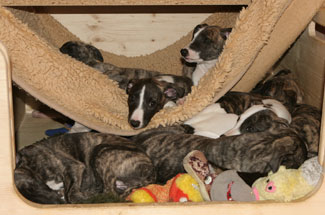 Whippets of mystical wooden house